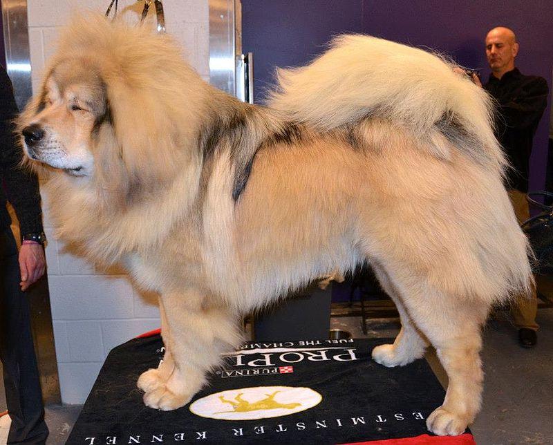 A_Tibetan_Mastiff
