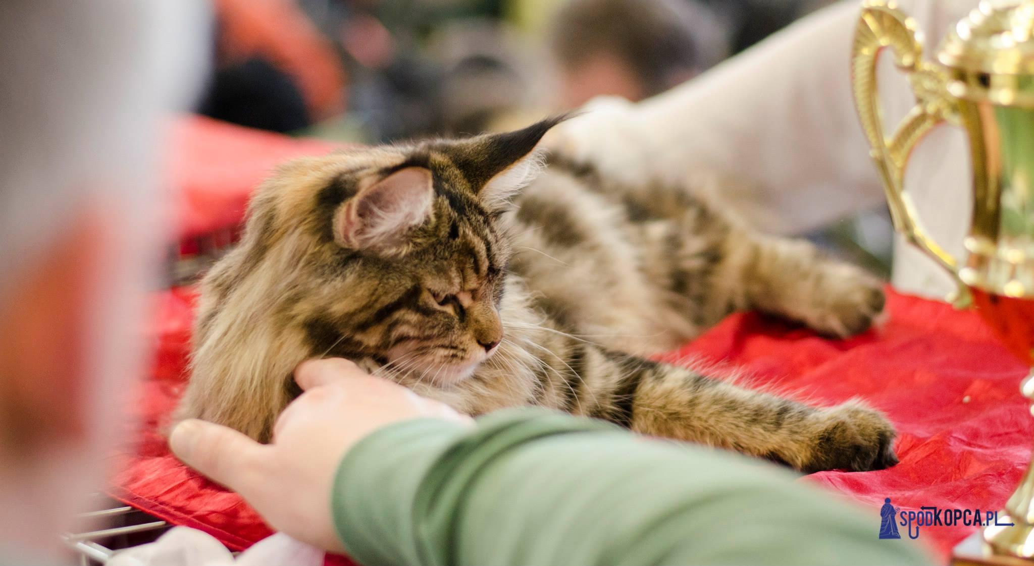 Międzynarodowa Wystawa Kotów Rasowych tym razem odbędzie się w Auli UMK [fot. Wojciech Leszczyński]