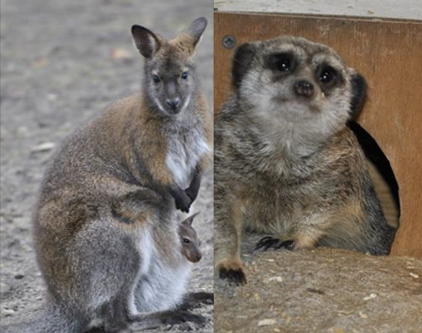 kangury surykatki