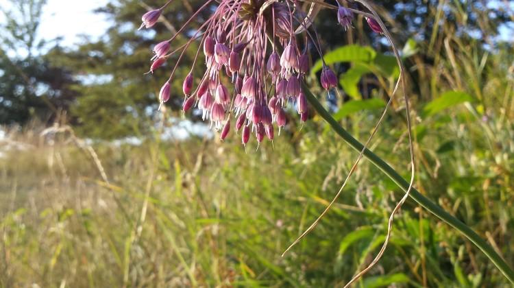 Allium_carinatum_subsp._carinatum_sl2