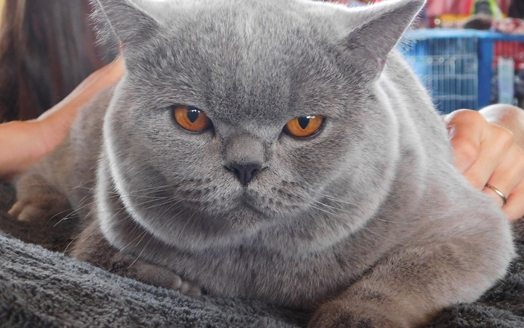 Kot brytyjski [fot. Sara Watrak]