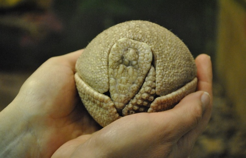 Nowy potomek toruńskiego zoo rośnie jak na drożdżach! [fot. screen z facebookowego profilu Ogrodu Zoobotanicznego w Toruniu]