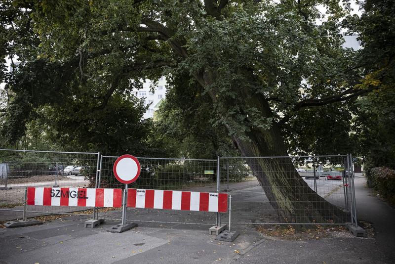 W piątek przed południem przewrócił się pomnik przyrody z ulicy Wiązowej. [fot. Wojciech Szabelski,torun.pl]